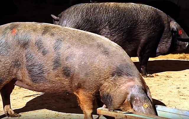 Супоросные свиноматки пьют много