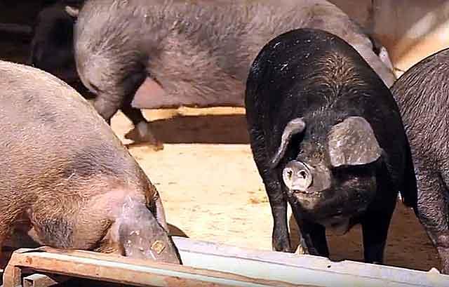Холощенные животные содержатся вместе, не проявляя агрессии