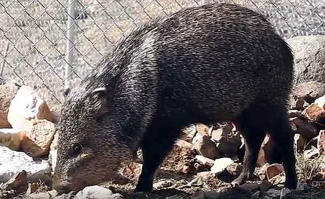 Пекариевая американская дикая свинья