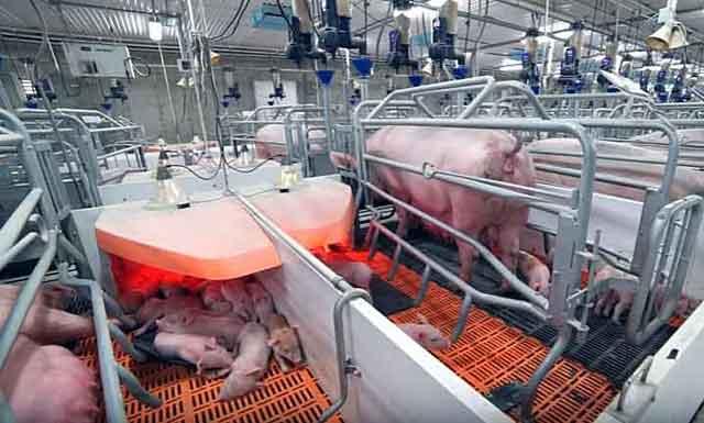 Свиноматки в станках