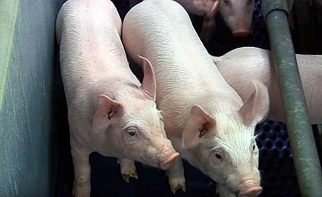 Через сколько после охоты можно резать свинью