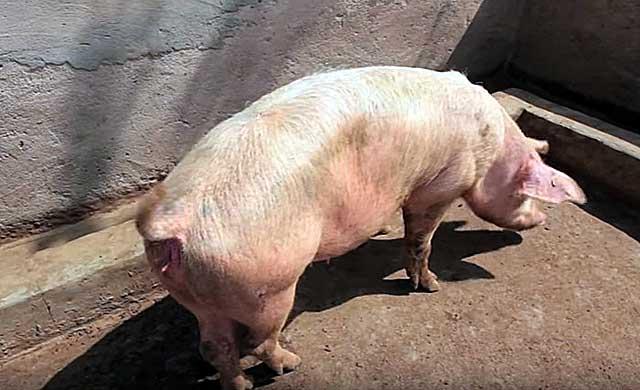 Розовеют ли соски у супоросной свиньи