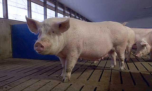 Свиноматок можно содержать в одном загоне