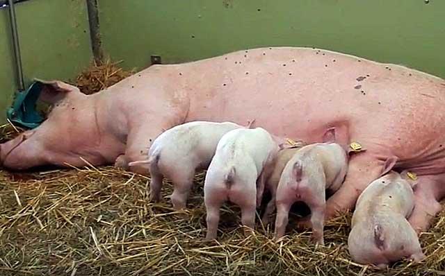 Если свинья плохо себя чувствует - вызывайте ветеринара
