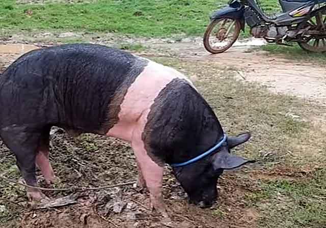 С небольшими свинками можно справиться в одиночку