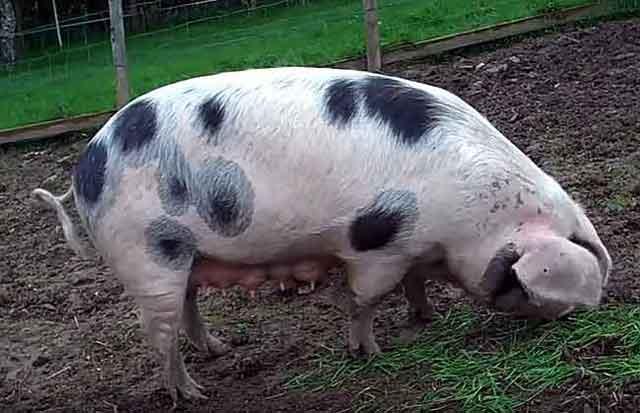 Свинка пьетрен