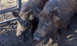 Мускусные и другие дикие свиньи