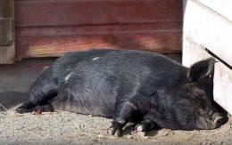 Черные породы свиней