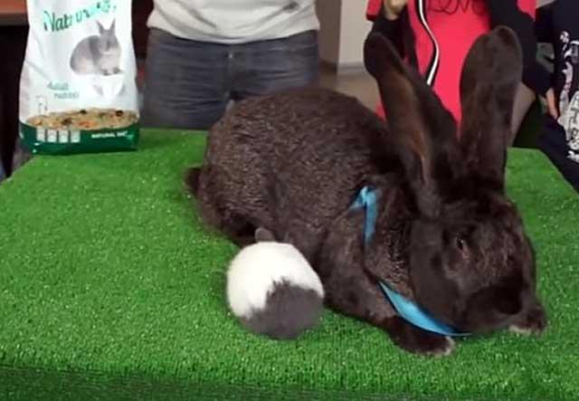 Действительно большие кролики
