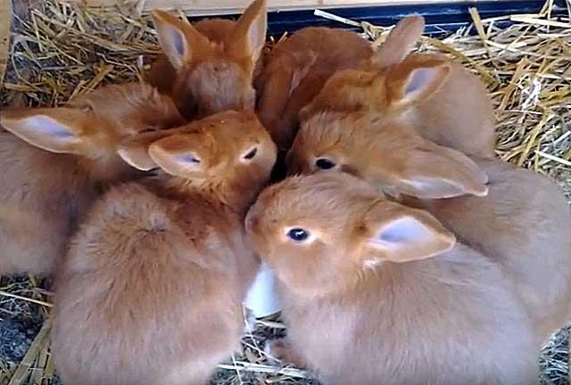 За один окрол рождается от 10 до 14 крольчат