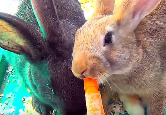 Обожают морковку