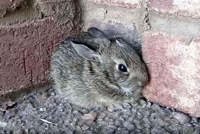 ассоциированная вакцина для кроликов инструкция дозировка