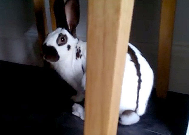 Чем меньше питомец - тем меньше крольчат