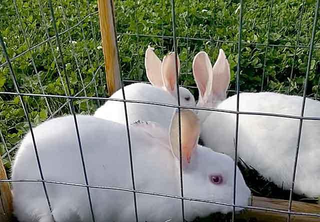 Спокойные альбиносы
