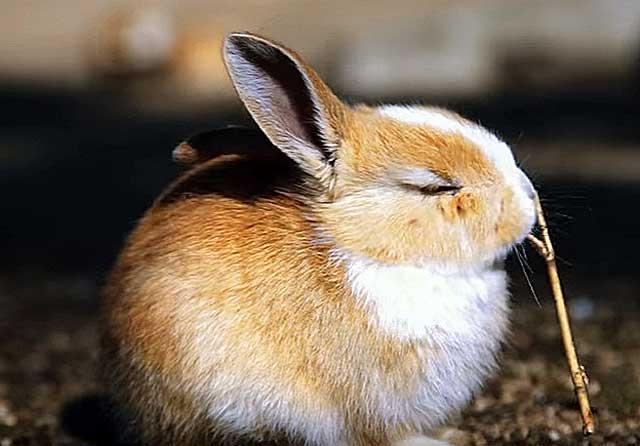 как давать молочную кислоту кроликам