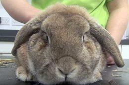 О температуре тела кролика