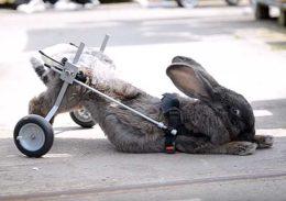 Что делать, если у кролика отказали задние лапы