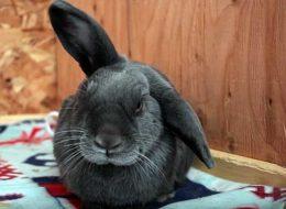 Чем лечить болячки в ушах у кроликов