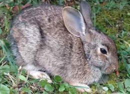 Лечение ушного клеща у кролика