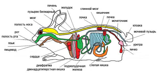 Строение внутренних органов кролика