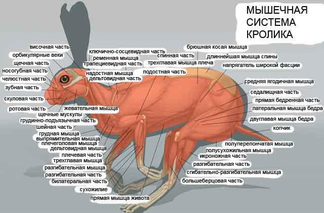 Мышечная система кролика