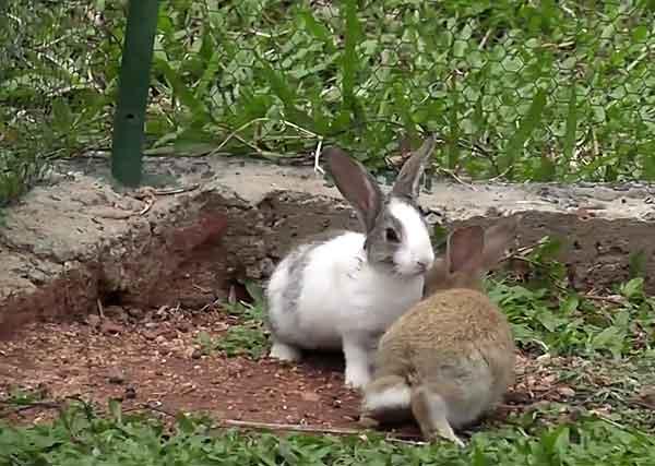 Кролики в загоне