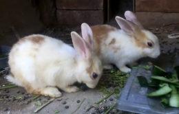 Почему кролик может есть свой помет