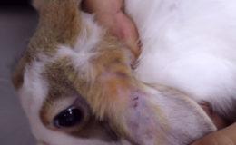 Почему кролики грызут друг другу уши