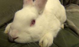 Почему кролит стучит задними лапами