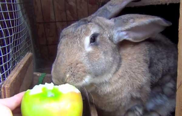 Яблоки входят в рацион