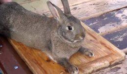 Забой кролика: как и когда