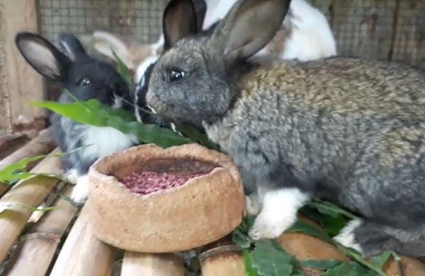 В качестве исходной породы лучше всего подойдут беспородные кролики