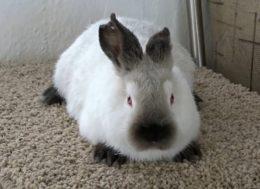 Почему крольчиха разбрасывает или съедает своих крольчат