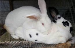 О скрещивании кроликов разных пород