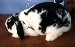 Сколько ходит беременный кролик