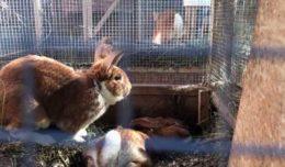 Можно ли спарить кроликов-родственников