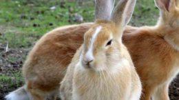 Что нужно знать об искусственном осеменении кроликов