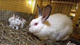 Как происходят роды у крольчихи