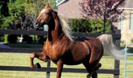 Американские верховые лошади