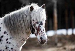 Лошади алтайской породы