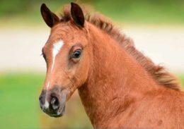 Про голштинскую породу лошадей