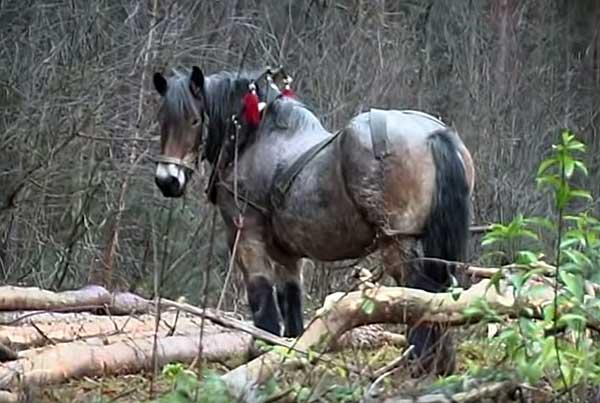 Низкорослые лошади-тяжеловозы