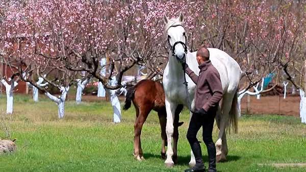 Происходят от диких вестфальских лошадей