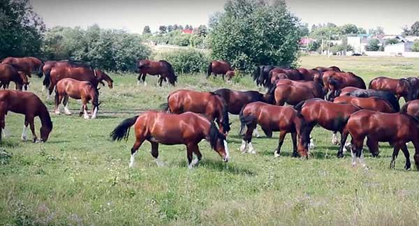 Выносливая порода лошадей