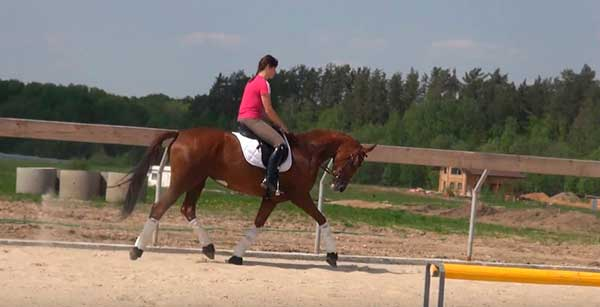 Характеристики вестфальской породы лошадей