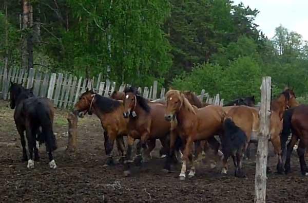 Табун башкирских коней