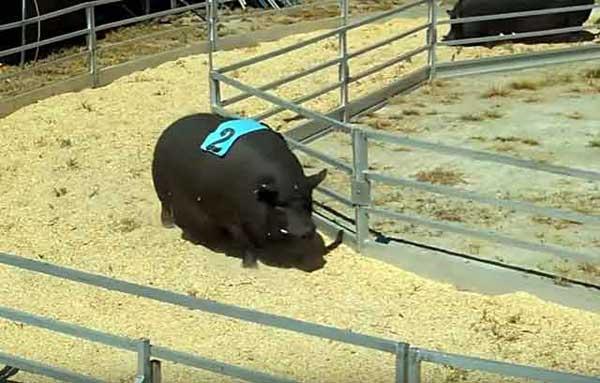 Гончая свинюшка