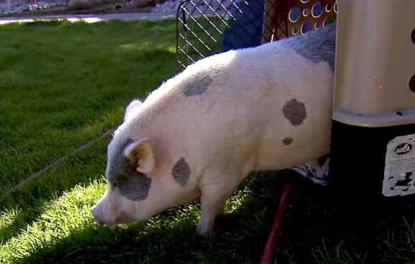 Пятнистая свинюшка