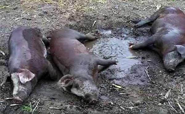 Как хорошо лежать в грязи
