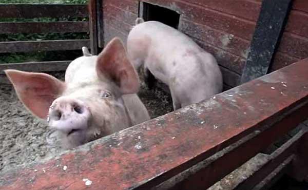 Любопытная свинка